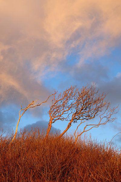 Windflüchter im Winter von Ostsee Bilder