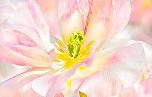 TulipCloseup van