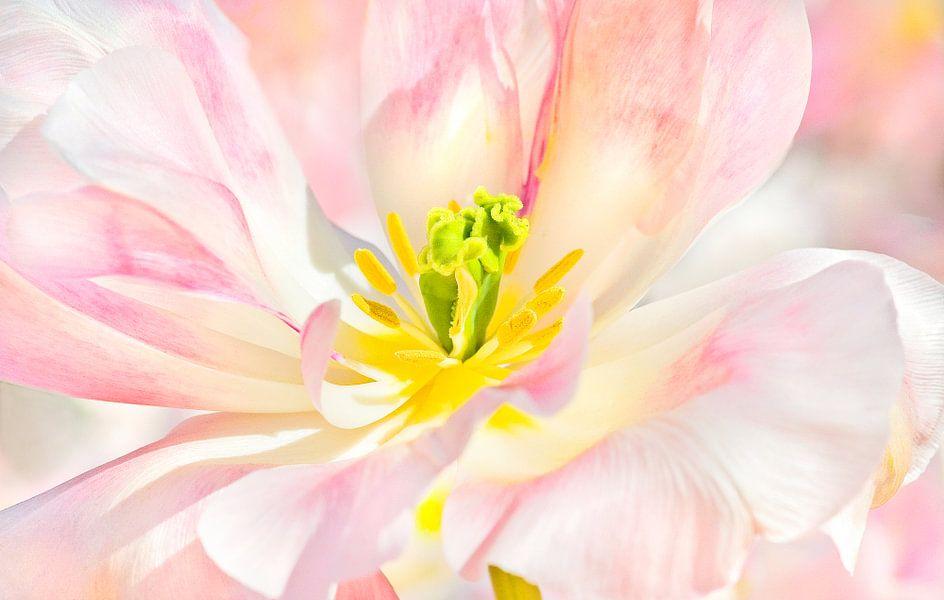 TulipCloseup van Dalex Photography