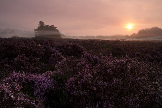 Paarse Heide in de mist