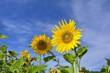 Große Sonnenblumen von Claudia Evans