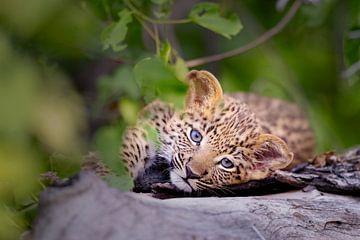Baby Leopard von Jos van Bommel