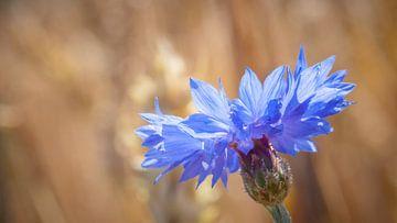 Die Kornblume (Centaurea cyanus) von Fotografiecor .nl