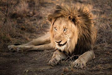 Lion van Thomas Froemmel