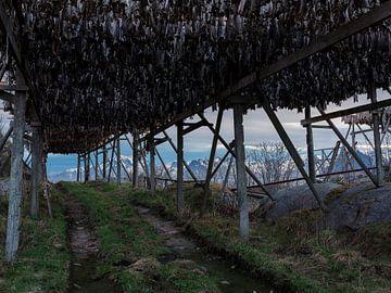 Trocknen von Fisch auf den Lofoten von Jelle Dobma