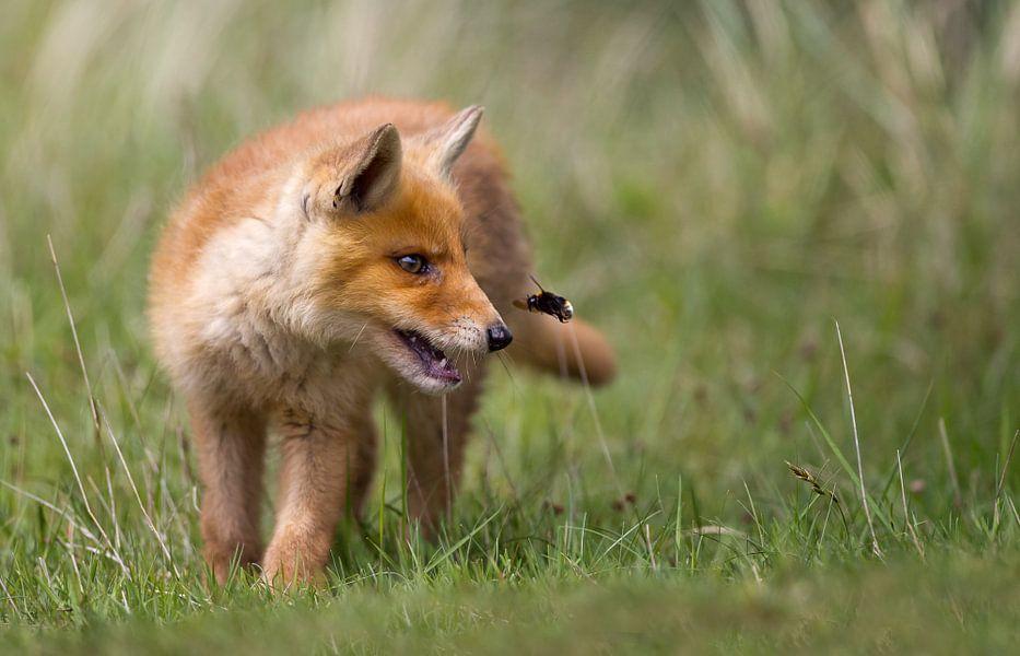 Jong vos en een aardhommel