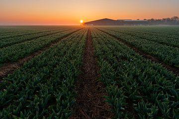 Tulpenfeld Sonne opkosmt von Rick Kloekke