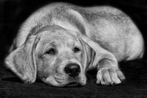 Blonde labrador pup ligt te luieren in het zwart-wit.