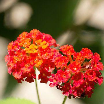 Orange Blumen des Lantana von whmpictures .com