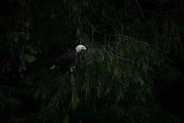 Amerikanischer Seeadler von Heleen Middel