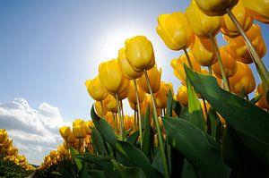 Gele Tulpen - Keukenhof van Roelof Foppen