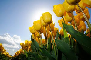 Gele Tulpen - Keukenhof van