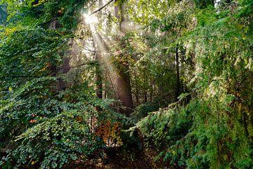 Wunderschöne Sonnenstrahlen im Wald bei Sonnenaufgang von Fotografiecor .nl