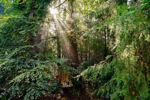 Prachtige zonnestralen in het bos bij zonsopkomst