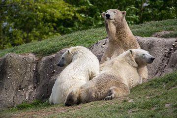 Junge Eisbären trinken mit ihrer Mutter Milch. von Joost Adriaanse
