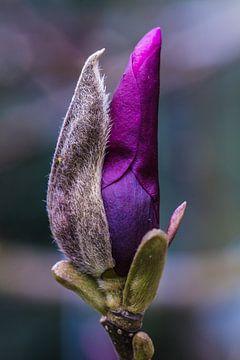 Magnolia knop ontluikt van kitty van gemert