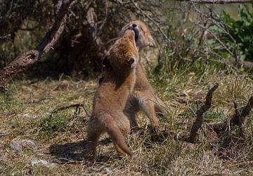 Stoeiende vosjes van Wesley Klijnstra
