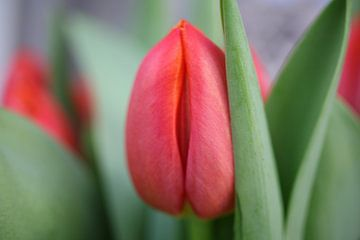 Rode tulp van Floor Singelenberg