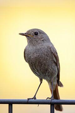 Gewone Redstart (Phoenicurus ochruros) van Dirk Rüter