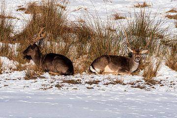 Damhirsch im Schnee Amsterdam Wasserversorgung Dünen von Merijn Loch