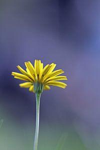 Geel in het wild von Klaase Fotografie