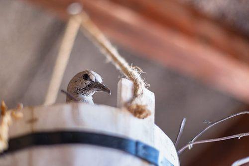 Duif met  nest in houten emmer