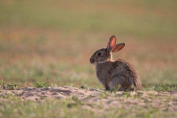 Eingetauchtes Kaninchen in der Abendsonne von Mathijs De Koning