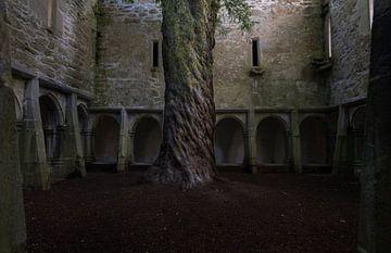 Oude taxusboom in Muckross Abbey, Ierland van Bo Scheeringa Photography