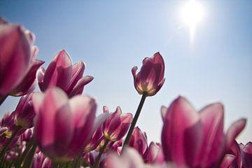 Tulp in de zon von Wilco Schippers