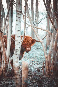 Schotse Hooglander van Steven Luchtmeijer
