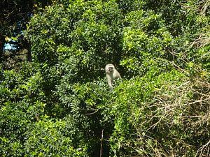 Aap in een boom