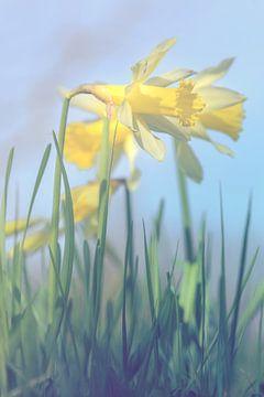 standing daffodils sur Alessia Peviani