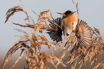 Vögel - Eine Bartmeise fliegt aus dem Schilf auf. von Servan Ott