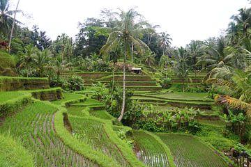 Verlaten rijstvelden von Kevin Kardux