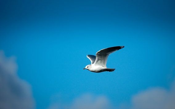 Vliegende zeemeeuw van Tom Roeleveld