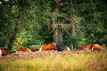 Koeien lakenvelder van Jefry Deuze