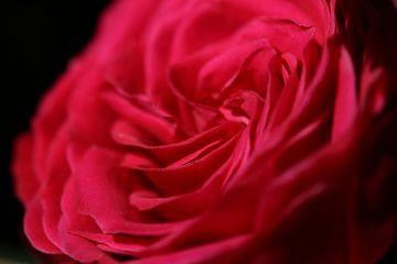 the rose van Bert Weber