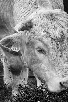 Schotse Hooglander zwart wit II van Robin Davina