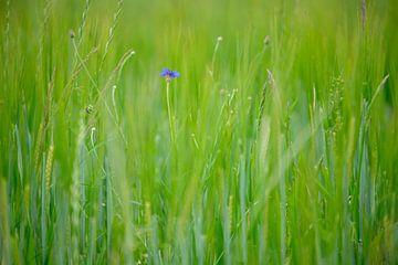Korenbloem tussen het gras van Michel Knikker