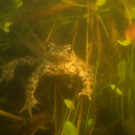 Common Toad ( Bufo bufo ) swimming under water during breeding season, in natural surrounding of a s van wunderbare Erde