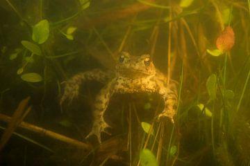 Erdköte ( Bufo bufo ), Kröte, Amphibie schwimmt während der Laichzeit unter Wasser zwischen Pflanzen von wunderbare Erde