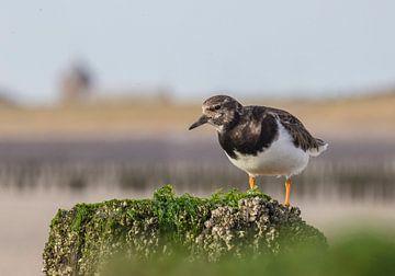 Steenloper aan de kust op een paalhoofd von Marcel Klootwijk