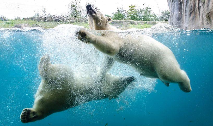 Jonge ijsberentweeling speelt in Blijdorp Rotterdam van Maurice Verschuur