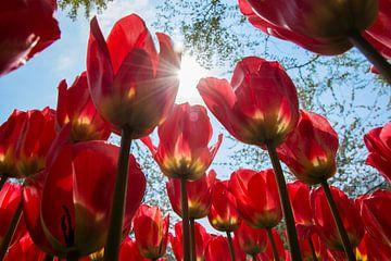 Rote Tulpen von Stefan Koeman