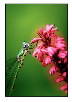 Libelle van Anuska Klaverdijk