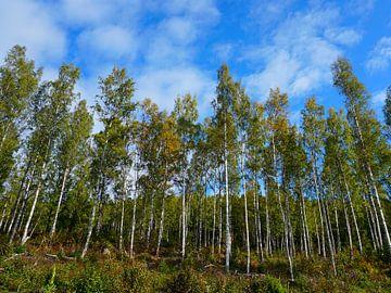 Birkenwald in Schweden von Thomas Zacharias