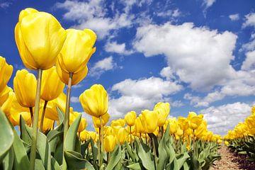 Gele tulpen onder blauwe lucht