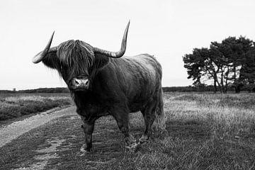 Schotse hooglander van Nynke Altenburg