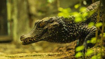 Krokodil 2 von Dirk Herdramm