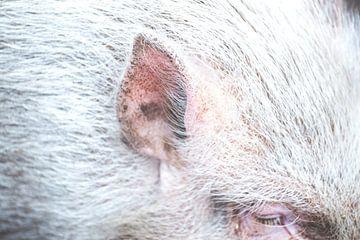 varkensoor van Janiek van Dijk